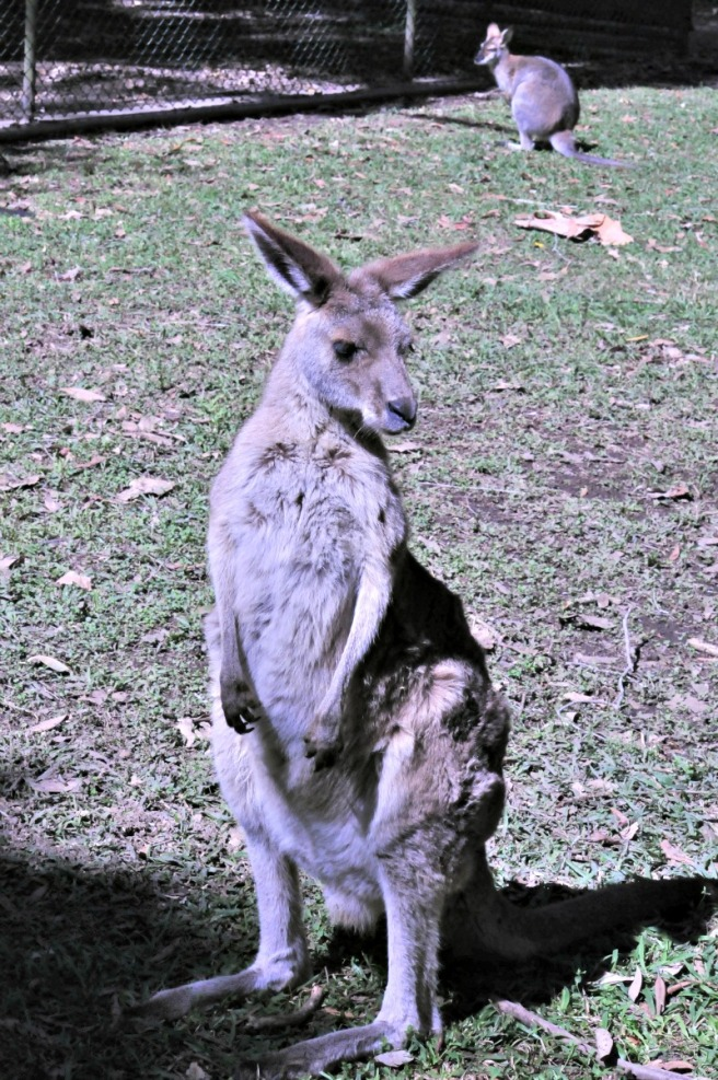 Kangaroo Australia zoo